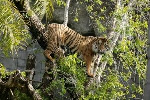 bioparc-fuengirola-tigres